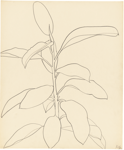 Ellsworth Kelly, Rubber Plant, 1957, graphite on paper, 24 3/4 x 20 1/2 inches (courtesy of Matthew Marks Gallery)