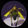 Megan Marlatt, Portrait of an Angry Grasshopper, 2008, acrylic on round paper, 1